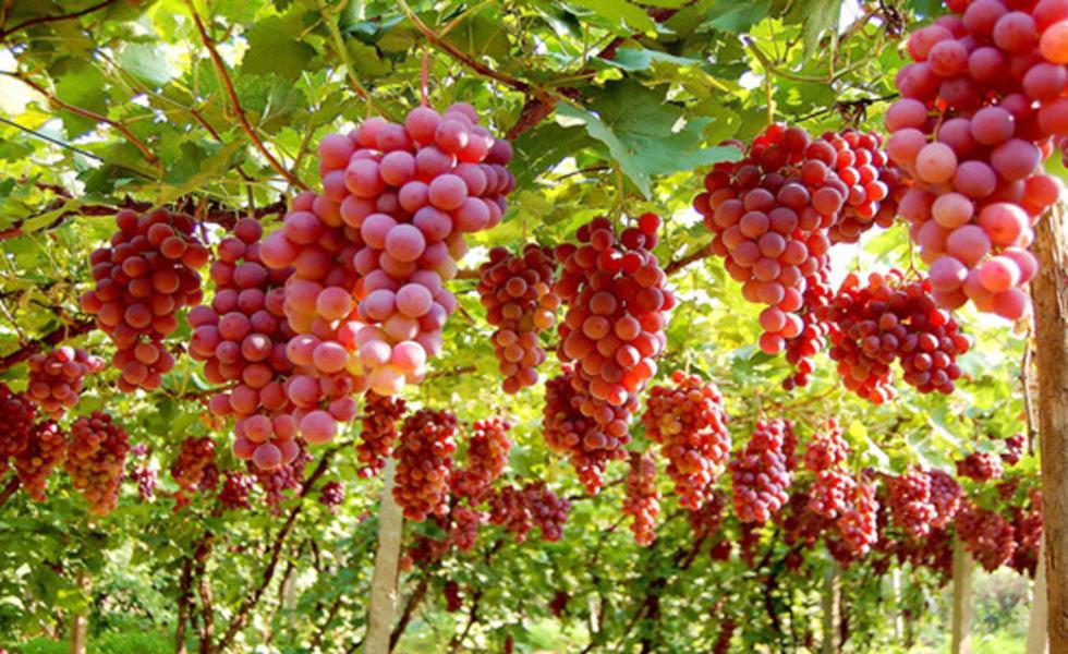 张家湾葡萄