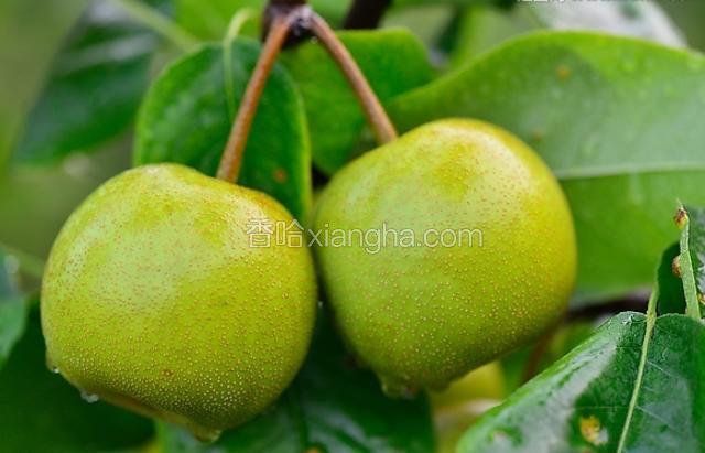 美呱王苹果梨
