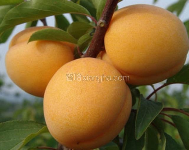 黄土坎大杏