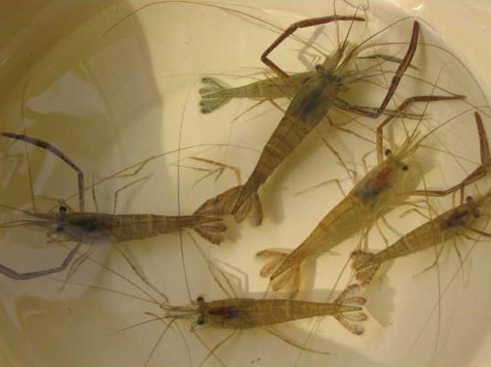 兴凯湖特产虾