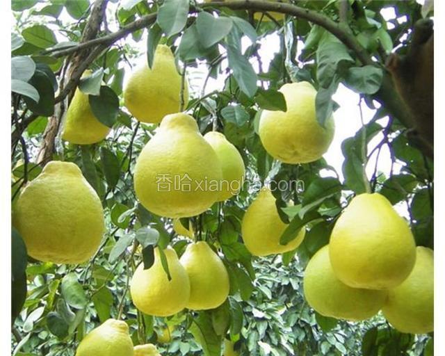 平乐沙田柚