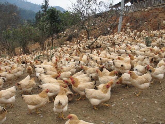 岑溪三黄鸡