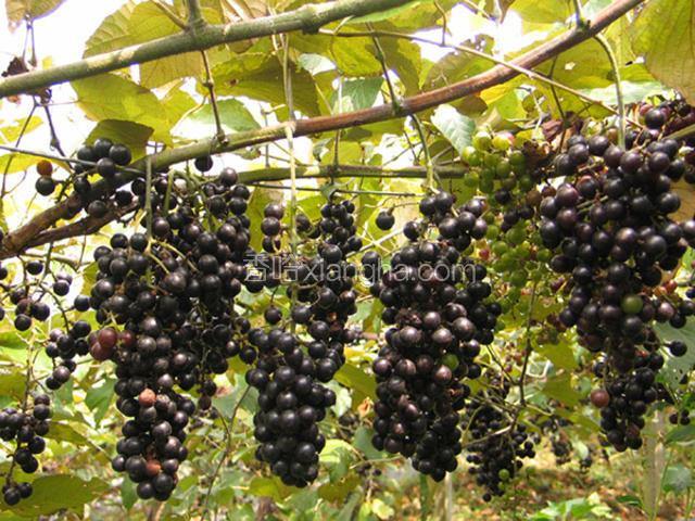 罗城野生毛葡萄酒