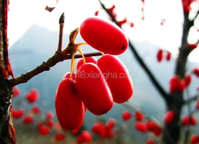 石台山茱萸