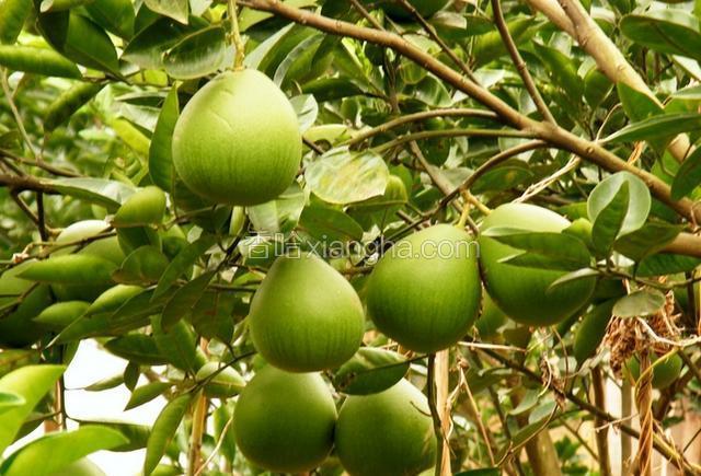 福鼎四季柚