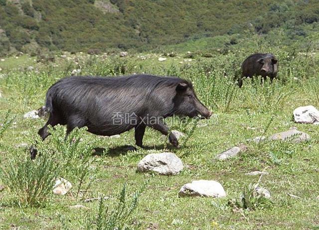 稻城藏香猪