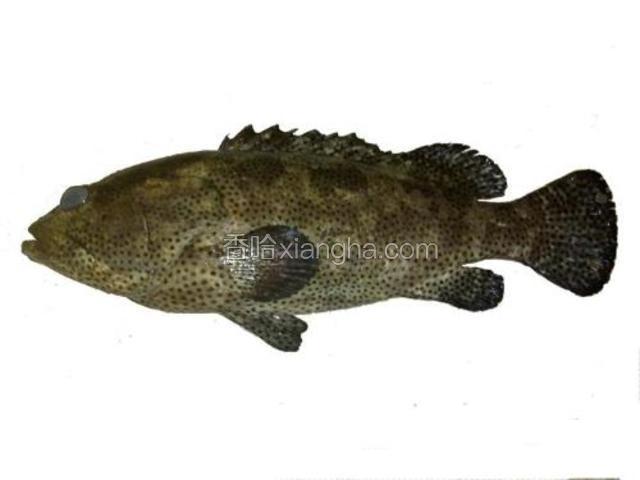 万山石斑鱼