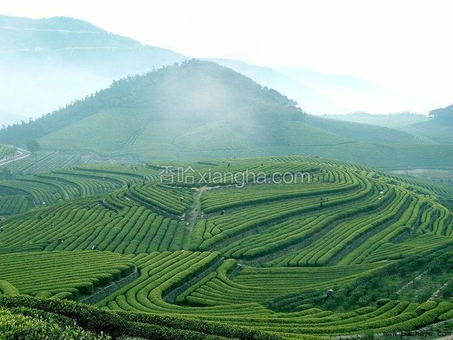 黄花山高山茶
