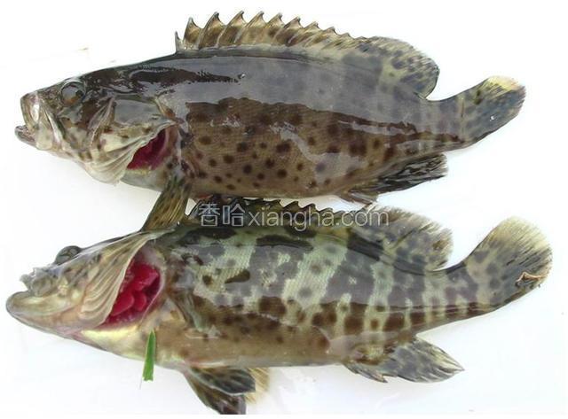 南澳县石斑鱼