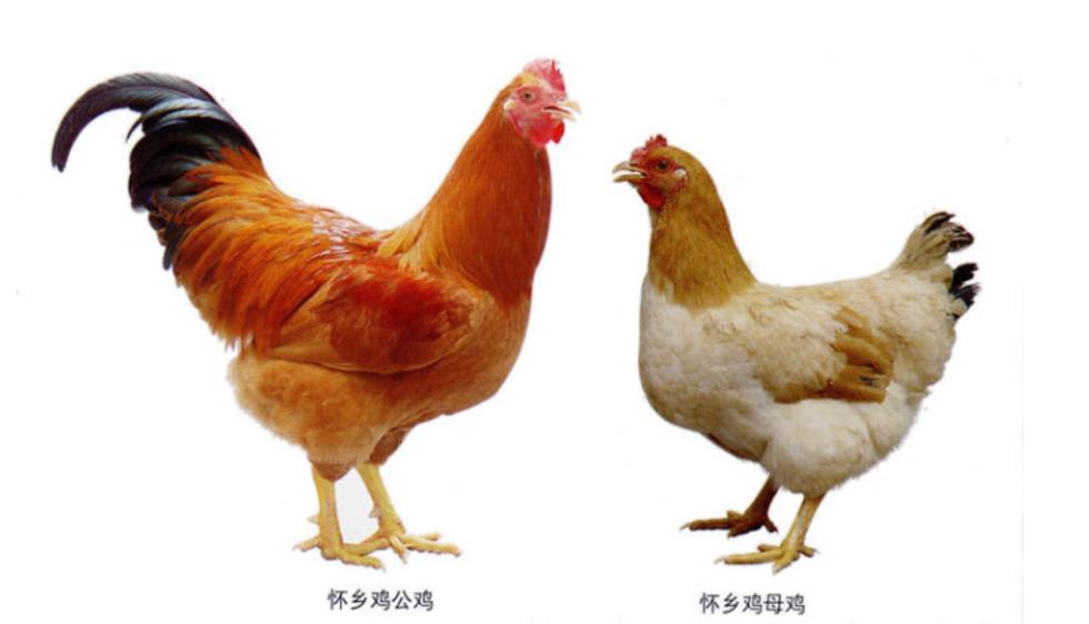 信宜怀乡鸡