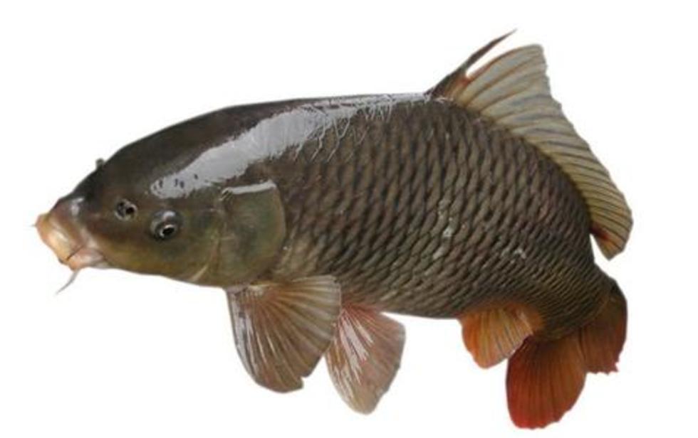 沙洋长湖鳙鱼