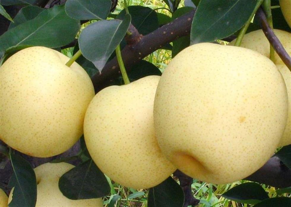 徂徕黄金梨