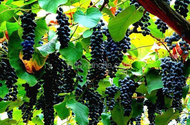 湘珍珠葡萄
