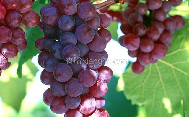 全球红葡萄