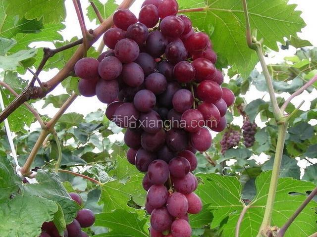 里扎马特葡萄