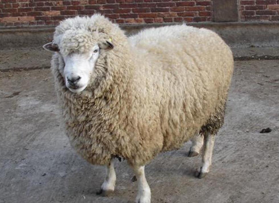 马楠半细毛羊