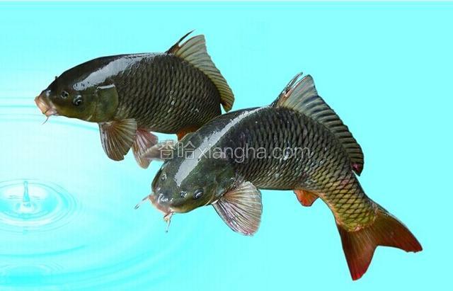 博斯腾湖鲤鱼