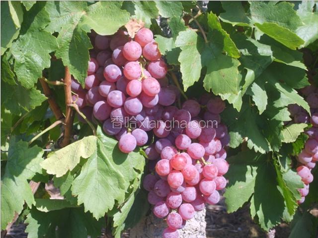 石河子鲜食葡萄