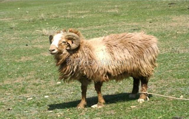 裕民巴什拜羊