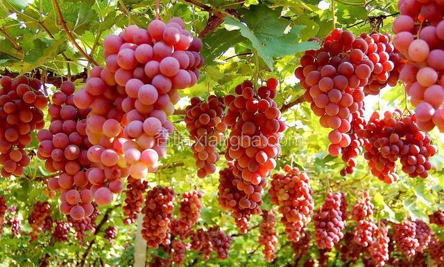 莫乎尔葡萄
