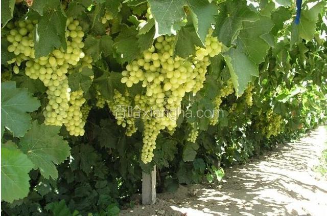 阿扎克葡萄