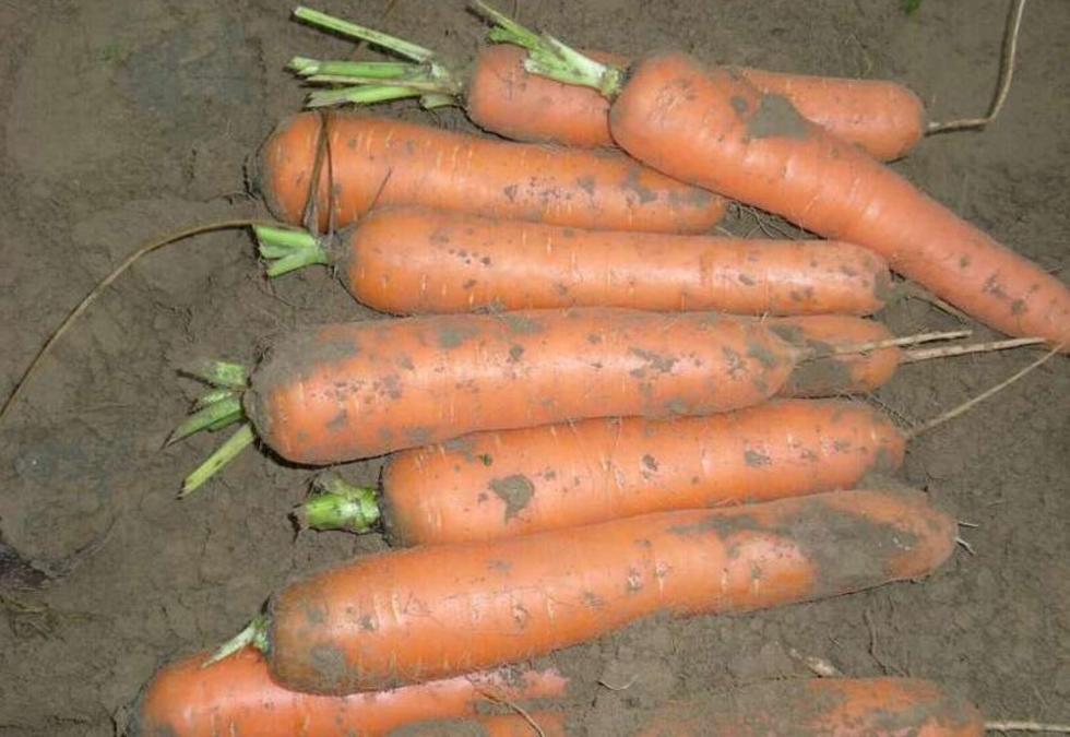 察右中旗红萝卜